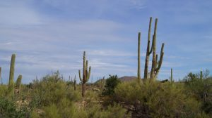 Saguaro Nationalpark, Arizona, Kakteen