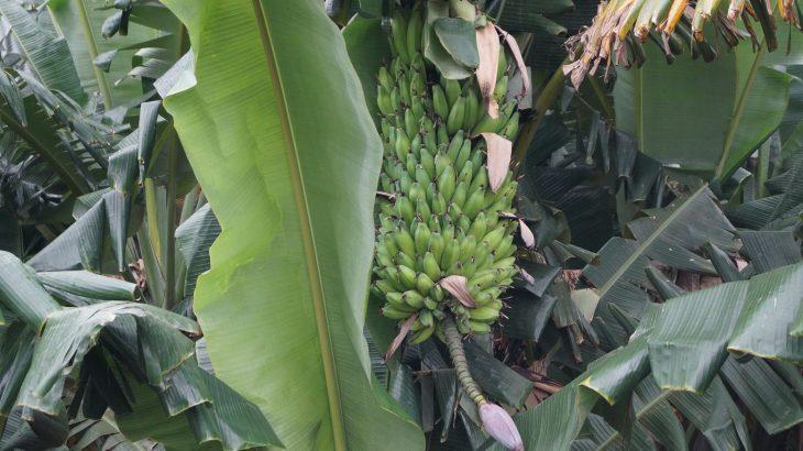 Weiße Fäden an den Bananen
