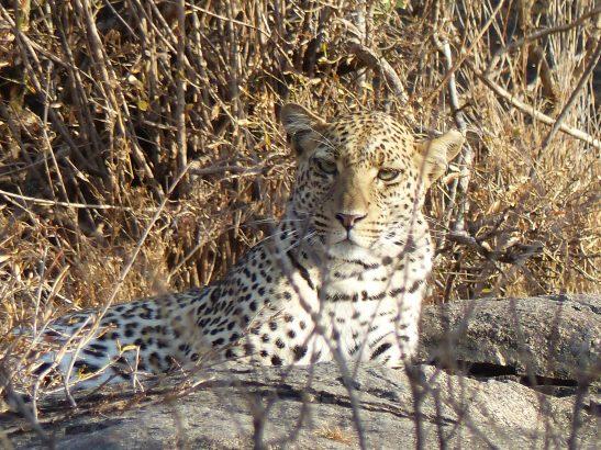 Löwe in Namibia, Afrika